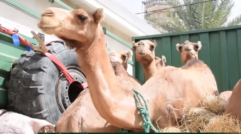 Gamou à Médina Baye : 25 chameaux, le cadeau de la communauté mauritanienne au Khalif